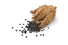 Dried Datura Thornapple Withblack Seed