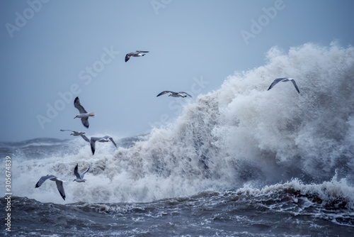 Fototapeta Huge waves raging in the sea and seagulls in the spray of waves