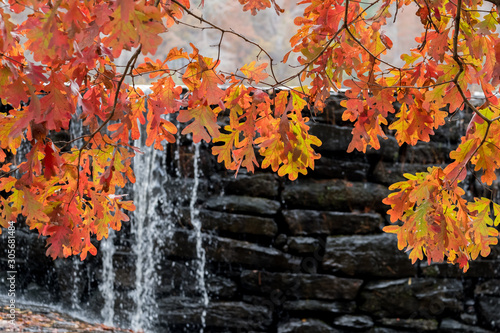 A vivid display of the autumn white oak foliate in front of the waterfall or dam at Yates Mill County Park, Raleigh, North Carolina Fototapet