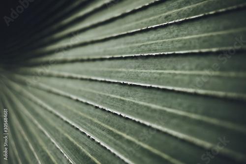 Billede på lærred Close-up of Leaves of Bismarck palm tree (Bismarckia nobilis).