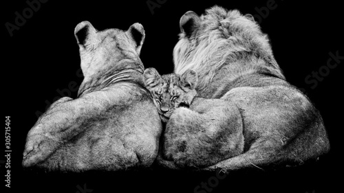 Fototapety, obrazy: Lion family with a black background