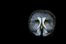 Great Gray Owl With A Black Ba...