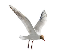 One Flying Black-head Isolated Gull Photo