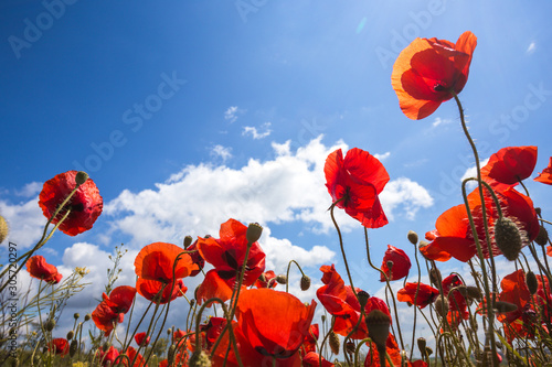 Obraz maki   the-poppies-field