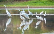 Great Egret Are Looking For Fo...