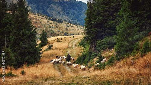 Obraz Shepherd and flock of sheep domestic agriculture animals. Beautiful rural scenery, forrest landscape. Livestock farming. - fototapety do salonu