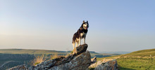 A Beautiful Black And White Adult Husky Dog Proudly Stands On A Hill In The Mountains And Looks Into The Distance With Blue Eyes.