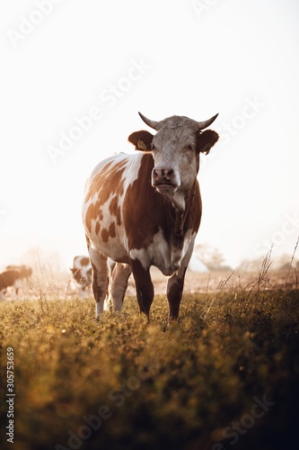 Cow portrait in the field. Autumn sunset landscape Fototapete