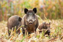 Angry Wild Boar, Sus Scrofa, H...