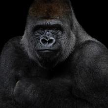 Western Lowland Gorilla XIII