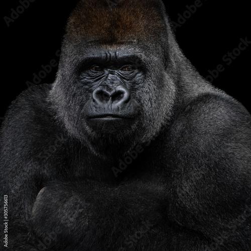 Photo Western Lowland Gorilla XIII