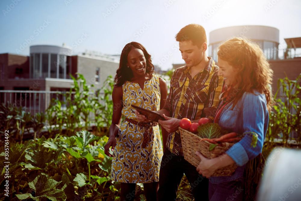 Obraz Friendly team harvesting fresh vegetables from the rooftop green fototapeta, plakat