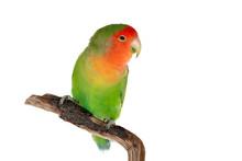 Beautiful Lovebird On A Branch
