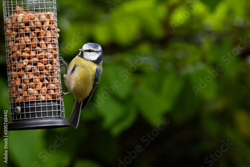Tablou Canvas Blue Tit (Parus caeruleus) on a Bird Feeder