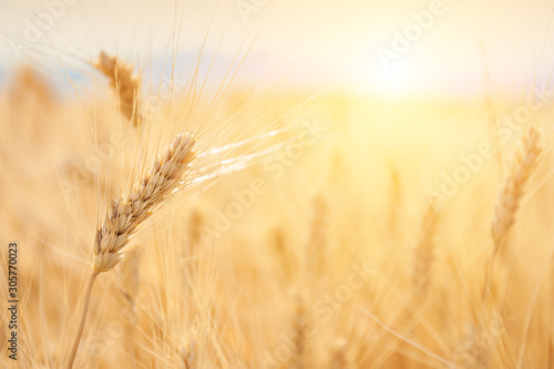 Canvas Prints Culture Wheat ear close up. Field of wheat in Provence, France. Macro image, selective focus. Beautiful summer nature background.
