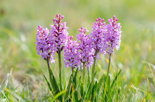 Fragrant Orchid Alpine Flowers