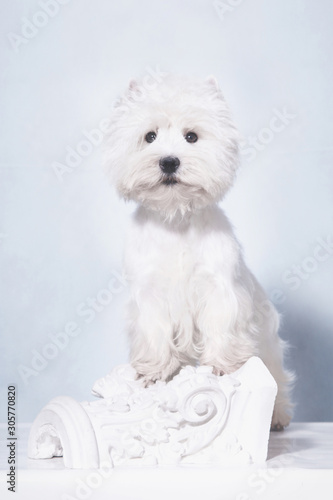 a small white West Highland White Terrier dog stands on its hind legs, leaning o Canvas Print