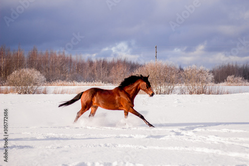 Fotografia Brown horse galloping in the snow field