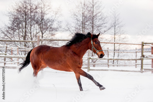 Stampa su Tela Brown horse galloping in the snow field