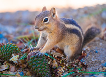 Uinta Chipmunk Eating The Seeds Of Coniferous Trees Along The Rim Of The Bryce Canyon National Park, Utah, USA