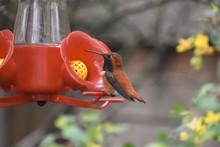Rufous Hummingbird Perched At ...
