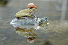 Frog And A Snail On A Turtle, ...