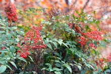 Arbusto Con Bayas Rojas En Otoño, Nandina Domestica