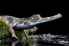 Portrait Of A Crocodile (Croco...