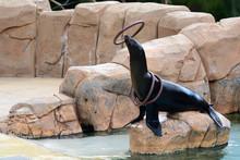 Close Up Of Sea Lion  (zalophu...