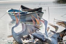 Group Of Pelicans Prepared To ...