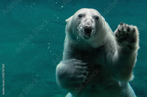 Poster Ijsbeer polar bear in the zoo