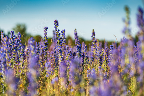 Fototapety, obrazy: Vipers Bugloss or Blueweed (Echium vulgare) blossom field.  Blue blooming flower, natural environment.