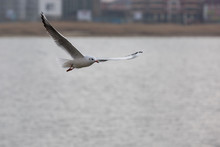 A Seagull Flies Over The Water.