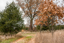 A Country Lane Between Oak Trees And Pines In The Autumn.