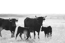 Corriente Cattle In Prairie Grass Field, Black And White Of Cows With Calves On Ranch.