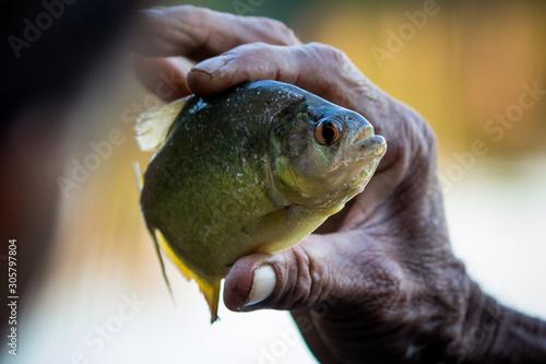 Obraz na plátně Piranha and her teeth. Sandoval Lake, Tambopata, Peru.