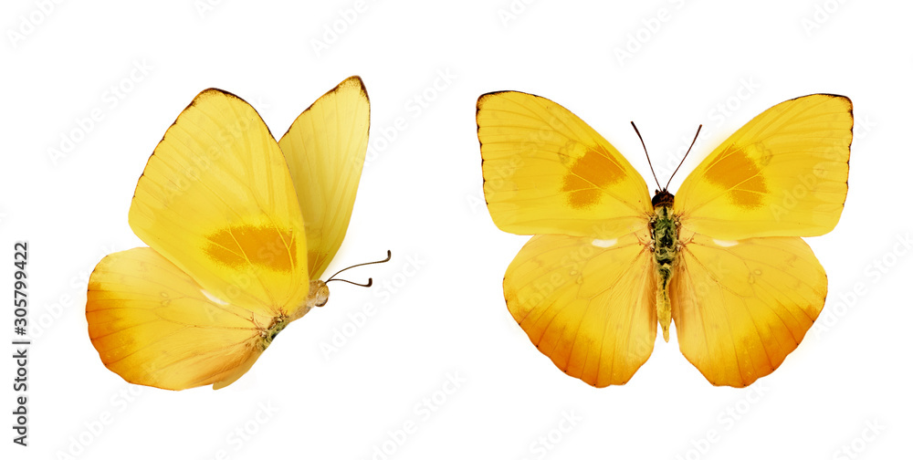 Fototapeta Two beautiful yellow butterflies Phoebis philea isolated on white background. Butterfly with spread wings and in flight.