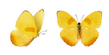 Two Beautiful Yellow Butterfli...