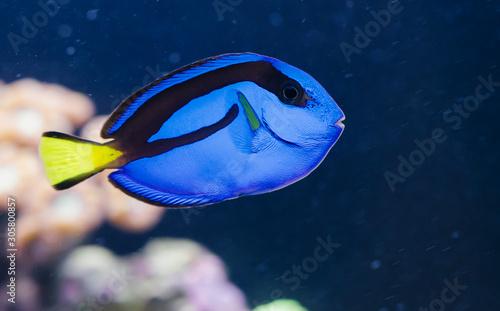 Paracanthurus Hepatus Exotic Fish Tablou Canvas