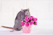 Gray Rat Sits On A White Background Near A Bucket With Pink Flowers, A Concept For A Spring Or Woman Day And For Greeting Card With Copyspace