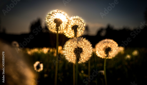 Fototapeta Real field and dandelion at sunset sunrise obraz