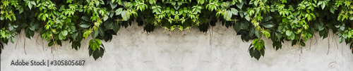 Foto The Green Creeper Plant on a wall. Background