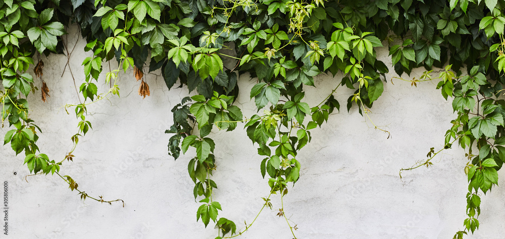 The Green Creeper Plant on a wall. Background