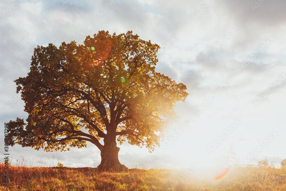 Fotografie, Obraz oak tree with yellow foliage at sunny autumn day