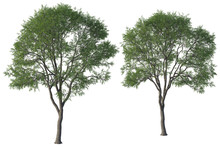 Pair Of Green Elm Trees Isolated On White, 3d Render.