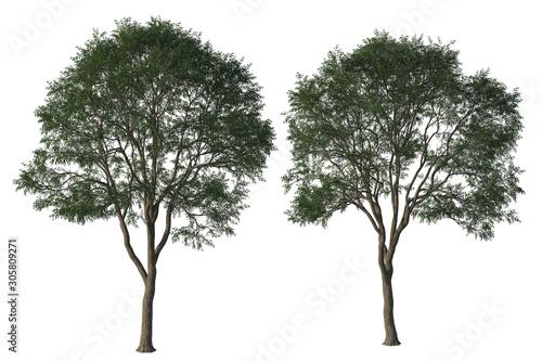 Foto auf Leinwand Khaki Pair of green Elm trees isolated on white, 3d render.