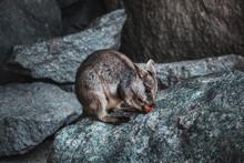 Rock Wallaby Sitting On A Boul...