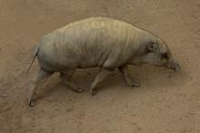 The Babirusa, Deer-pigs. (Babyrousa Babyrussa).