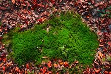 Cushion Moss Leucobryum Glaucu...