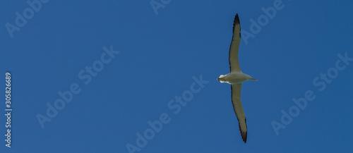 Fotografie, Obraz  Albatros en vol, sur fond de ciel bleu